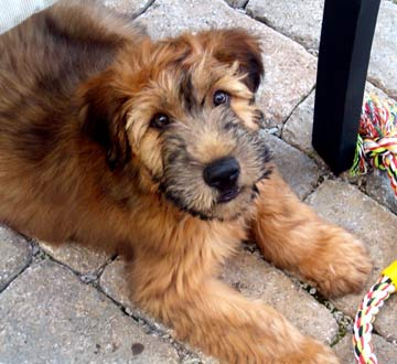 Wesley Crusher, the Wheaten Terrier Puppy – fauxspectacles