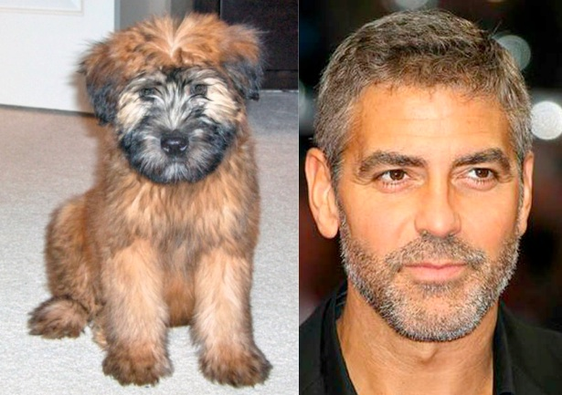 Look at the soulful brown eyes on this handsome guy!  (And Clooney ain't bad either!) (Ba-dum-ching)